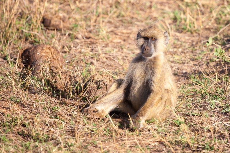 Małpi obsiadanie, sceneria Kenja fotografia stock