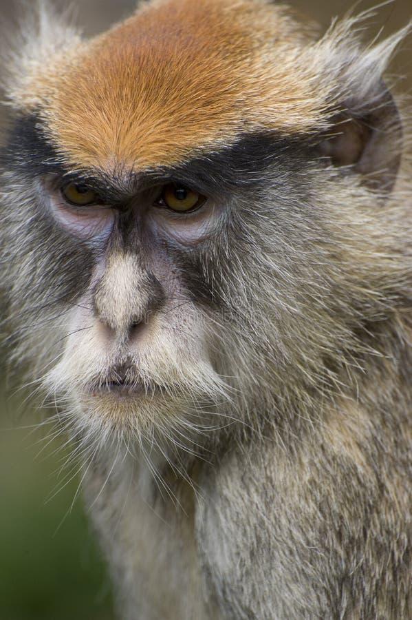 małpi patas fotografia royalty free