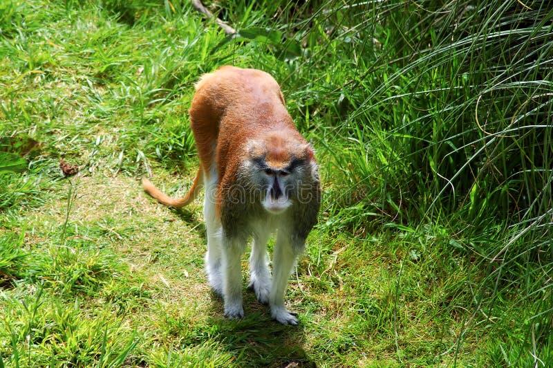 małpi patas portret obrazy stock
