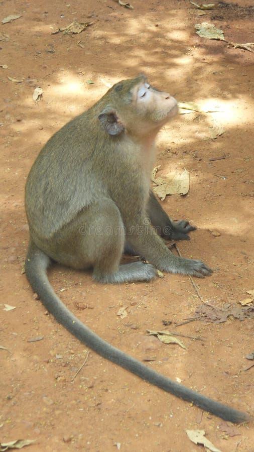 małpi pokojowy zdjęcie royalty free