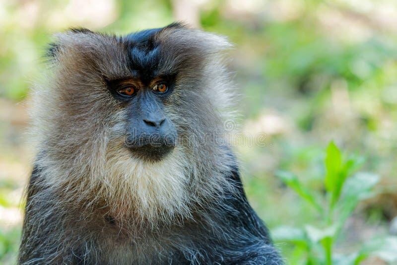 Małpi portret zdjęcia royalty free