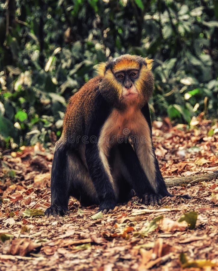 Małpi portret w Ghana (Cercopithecus Mona) fotografia royalty free