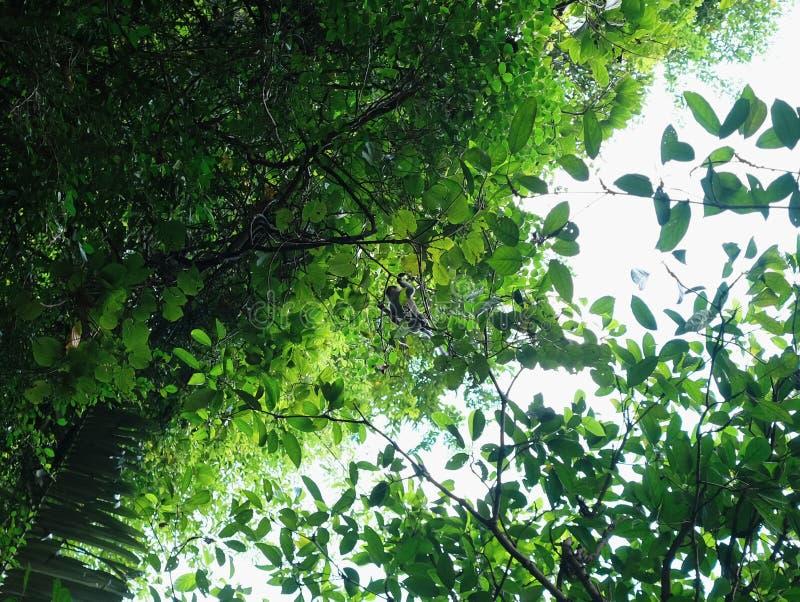 Małpi skrzyżowanie drzewa od niskiego kąta widoku zdjęcie royalty free