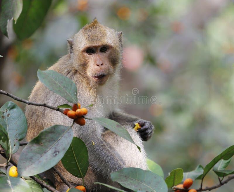 małpi spojrzenia jedzenie zdjęcia royalty free