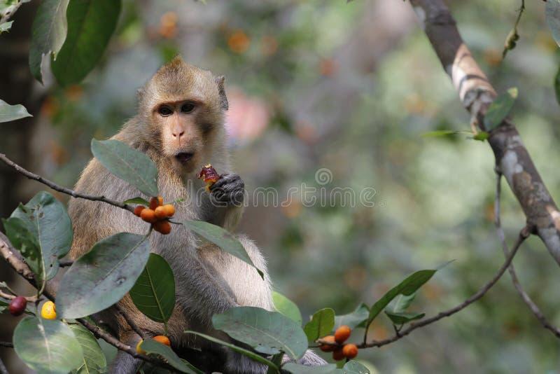 małpi spojrzenia jedzenie na drzewie zdjęcia stock