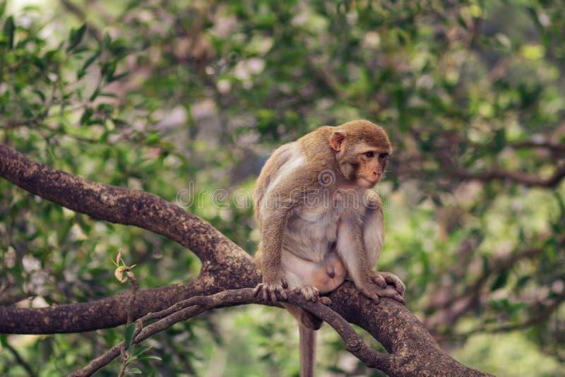 Małpi Vietnam obraz stock