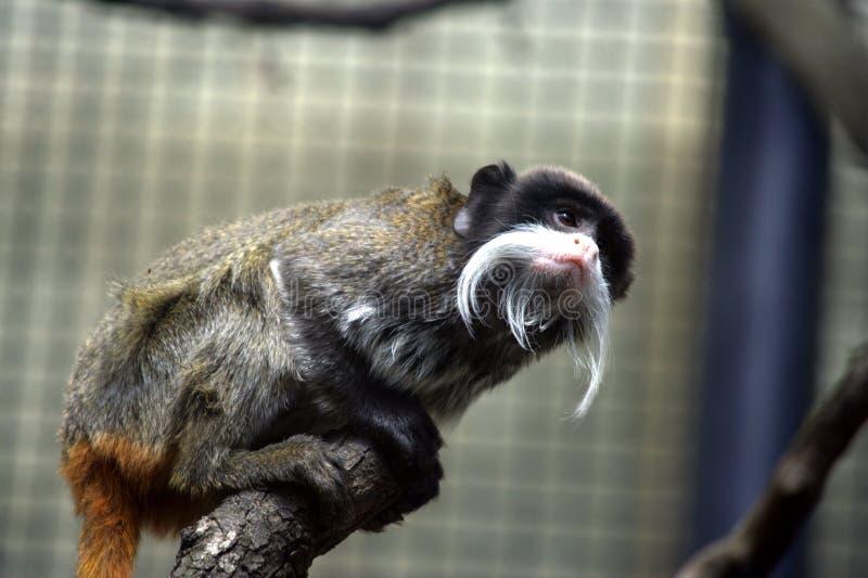 małpia cesarz długouszka obrazy royalty free