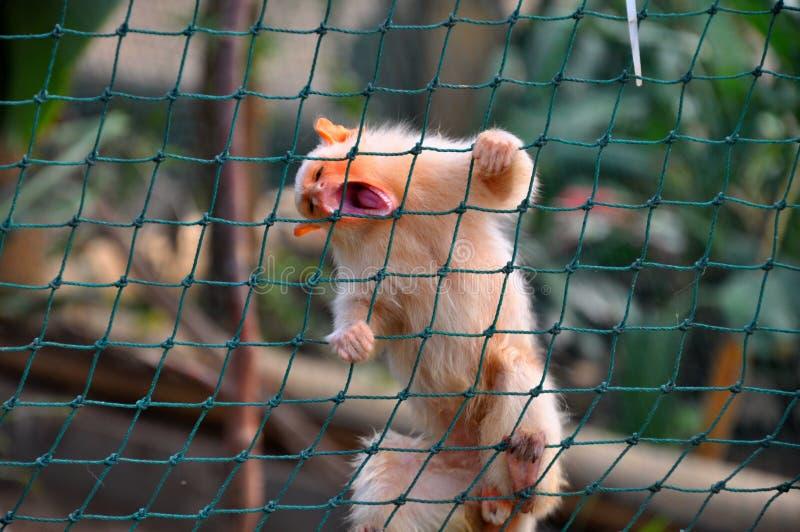 małpia długouszka zdjęcia stock