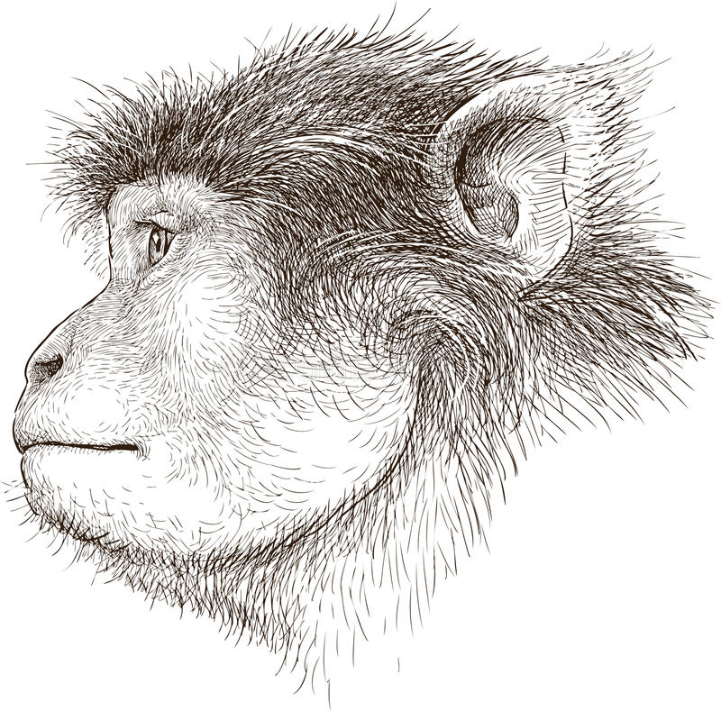 Małpia głowa royalty ilustracja