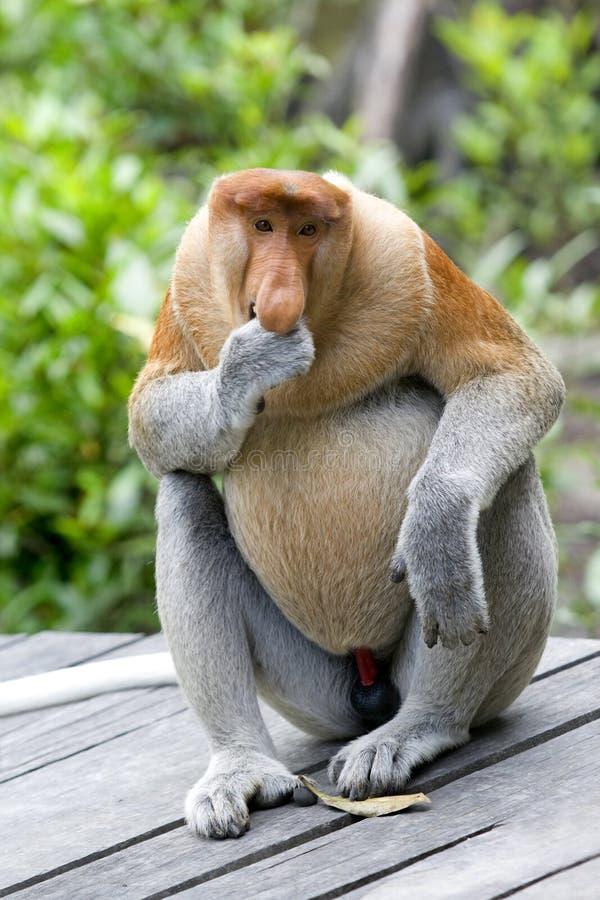 małpia kłujka fotografia royalty free