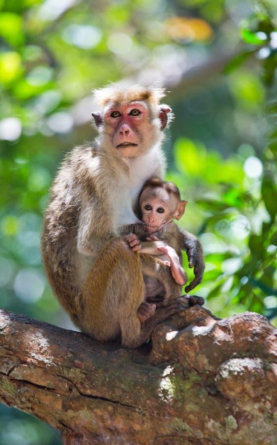 Małpia matka z dzieckiem siedzi na drzewie Sri Lanka obraz stock