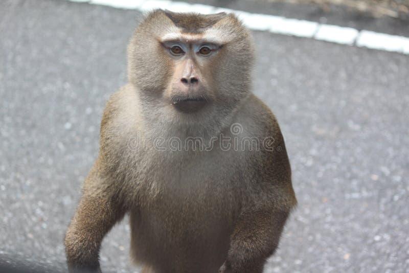Małpia pozycja na drodze patrzeje ciebie zdjęcie stock