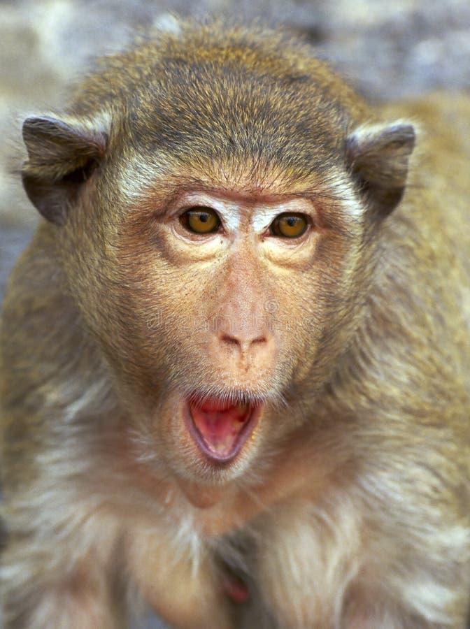małpia rhesus portret niespodzianka obrazy stock