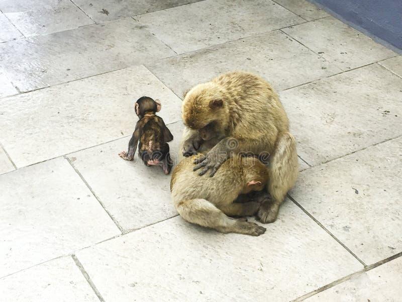 małpia rodzina na ulicie futerko obrazy stock