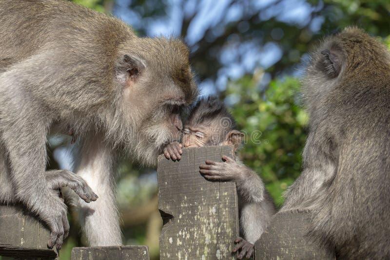 Małpia rodzina w Ubud, wyspa Bali, Indonezja obraz royalty free