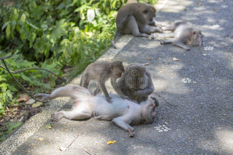 Małpia rodzina w Ubud, wyspa Bali, Indonezja Małpy odpoczywa w cieniu drzewo na gorącym tropikalnym dniu zdjęcie royalty free