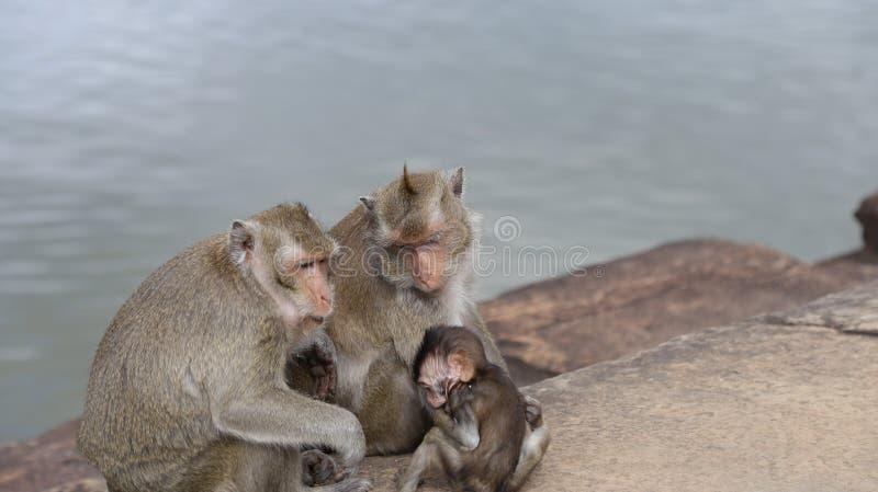 Małpia rodzina z dziecko małpy rozbijaniem w kochających macierzystych małp rękach zdjęcie royalty free