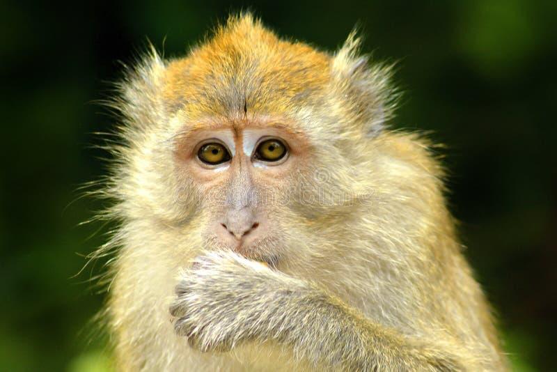 Małpia twarz 3 fotografia stock