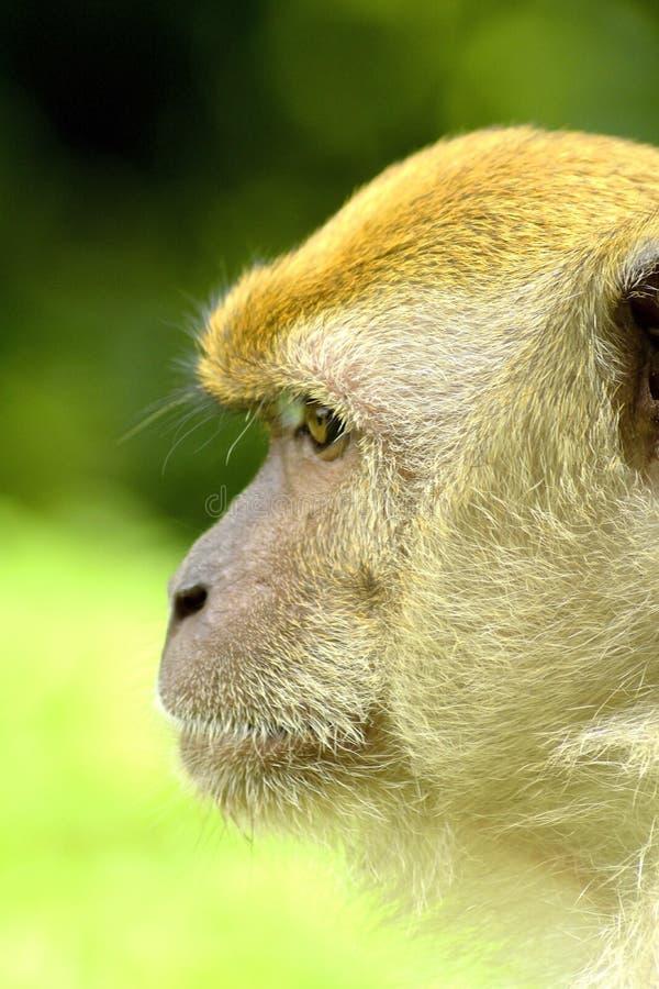 Małpia twarz 2 fotografia royalty free