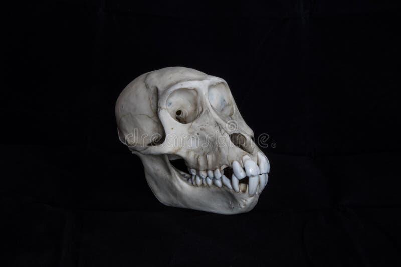 Małpiego czaszki zupełnego czarnego tła boczny widok zdjęcia stock
