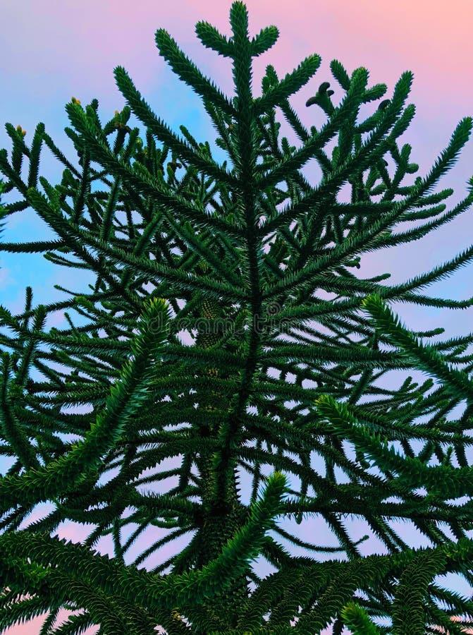 Małpiej łamigłówki drzewo przy zmierzchem obrazy royalty free