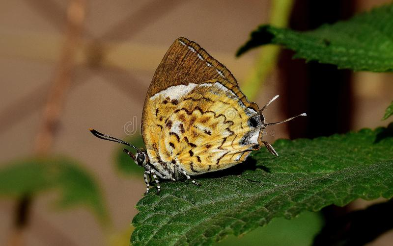 Małpiej łamigłówki motyl zdjęcie stock