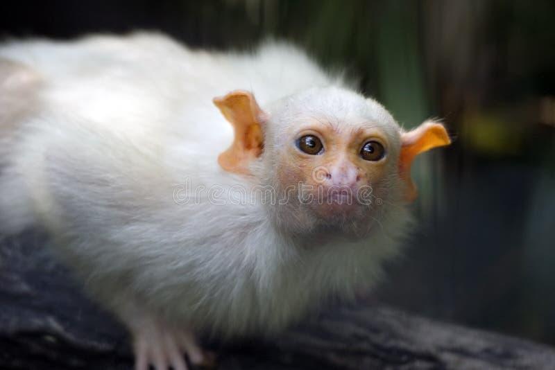 małpka kapucynka dziecka obraz royalty free
