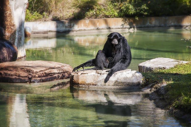 Małpuje na skale przy Busch ogródami w Tampa Floryda zdjęcie royalty free