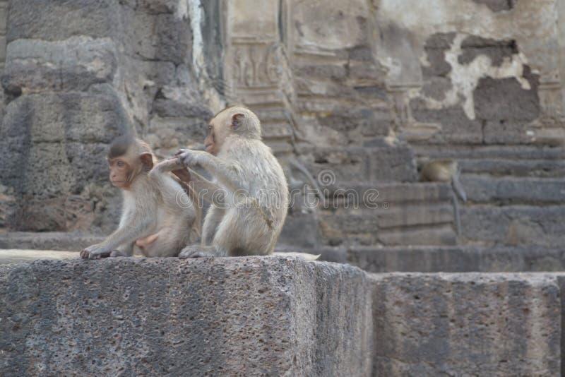 Małpy obraz royalty free