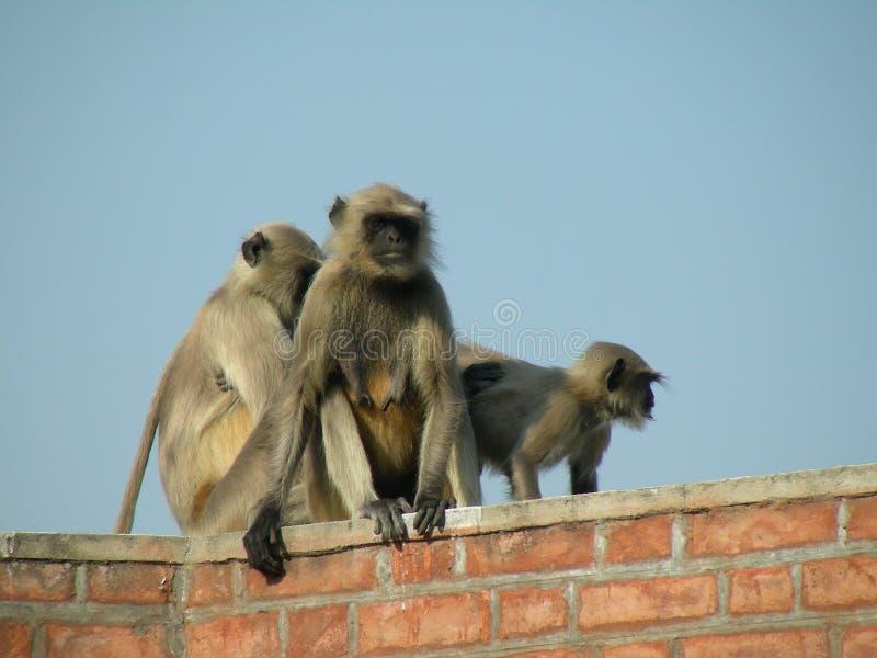 małpy. obrazy royalty free