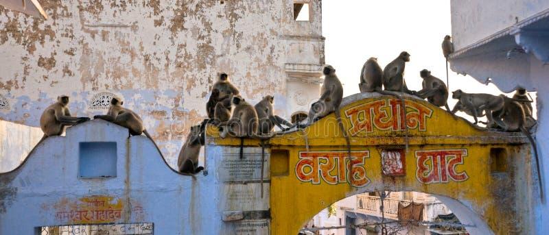 małpy Jaipur indu obraz royalty free