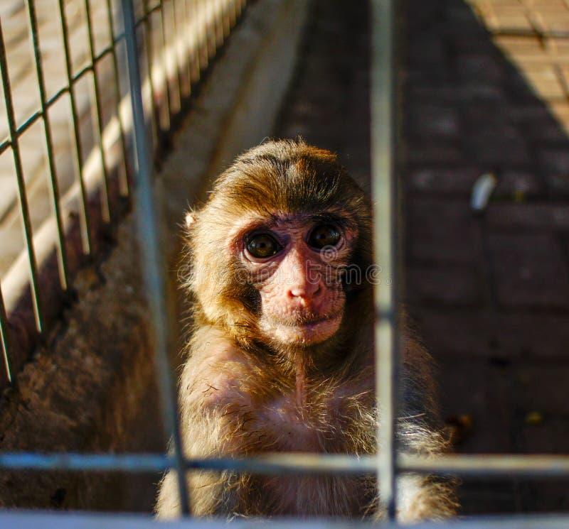 Małpy myśl obrazy stock