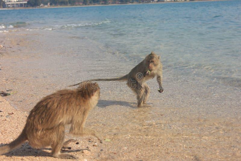 Małpy rywalizacja obrazy royalty free