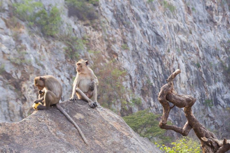 małpy są dwa siedzieć zdjęcie royalty free
