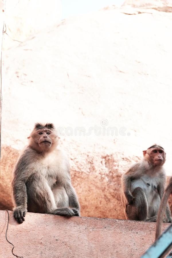 Małpy są przyglądające kamery obsiadanie na skale obrazy royalty free
