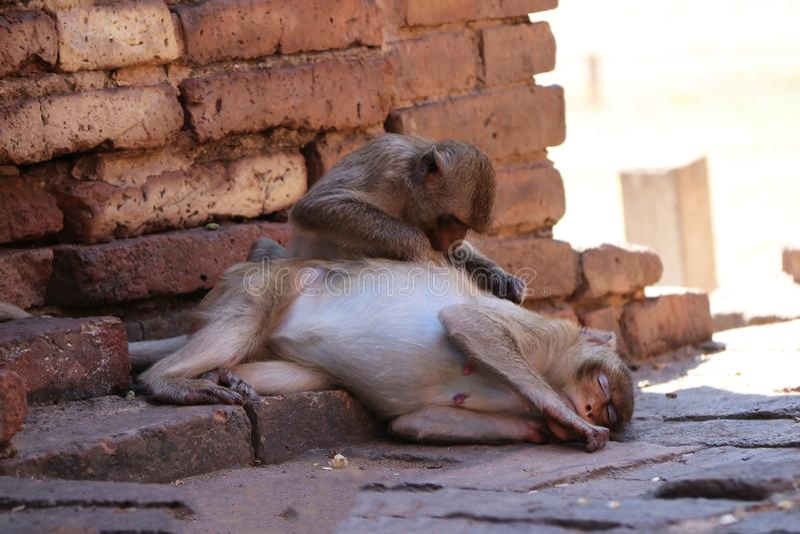 Małpy sprawdza dla pchieł i cwelichów przy archeologicznym miejscem, Phra rozwalają Sam Tajlandia, Yot trzy święty rozwala w Lopb fotografia stock
