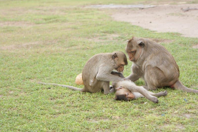 Małpy w Lopburi zdjęcia royalty free