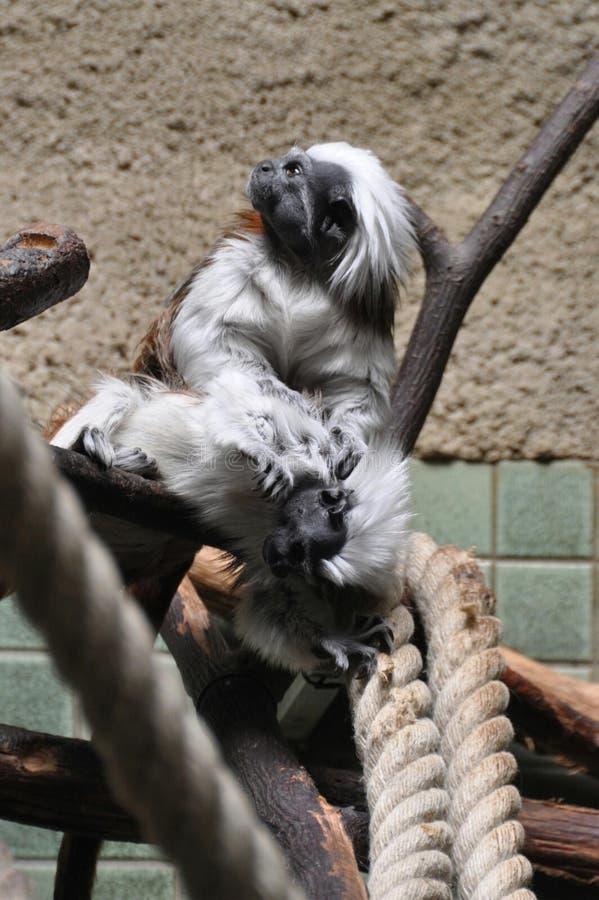 Małpy walka obrazy stock