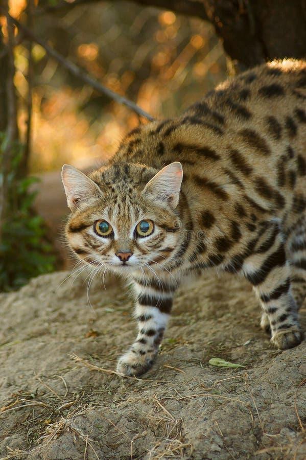 Mały Łaciasty kot obrazy royalty free