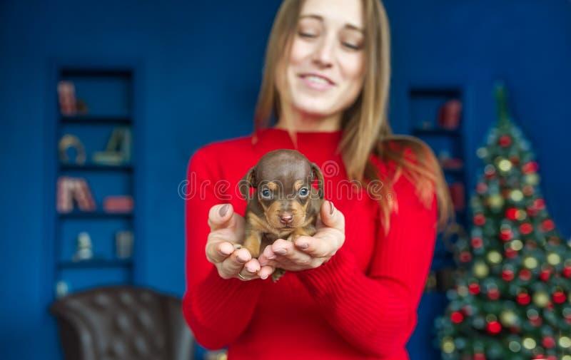 Mały śliczny szczeniak jamnik w rękach młoda kobieta na Bożenarodzeniowym tle Selekcyjny fokus w szczeniaku zdjęcia stock