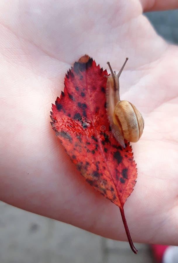 Mały ślimaczek na liściu w ręce zdjęcia stock