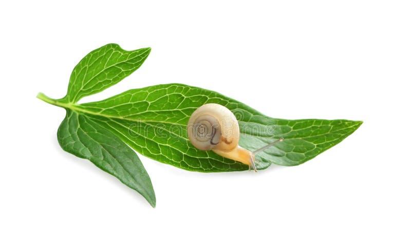 Mały ślimaczek na zielonym liściu przeciw białemu tłu zdjęcia royalty free