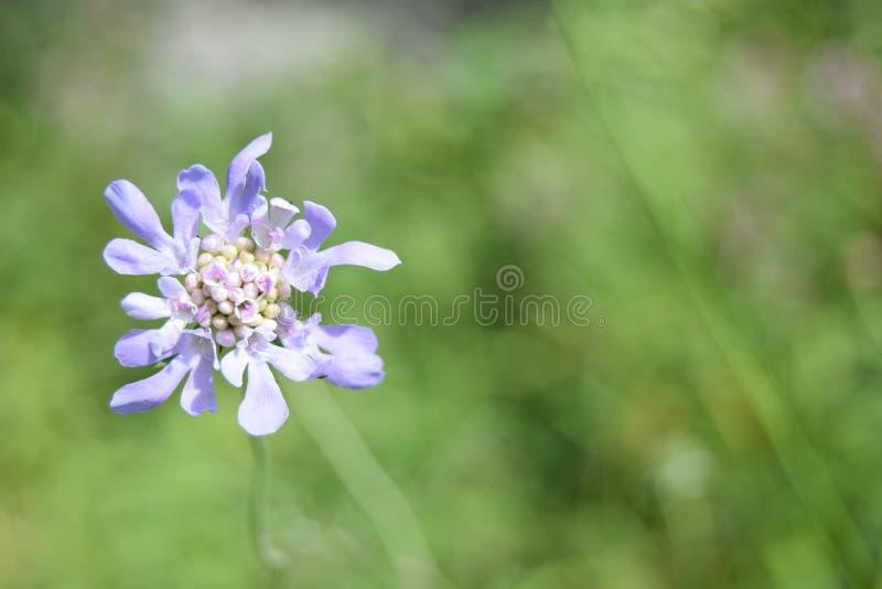 Mały światło - purpura kwiat, Mendips obrazy stock