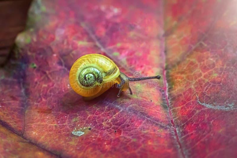 Mały żółty ślimaczek na jesień liściu Makro- obraz stock
