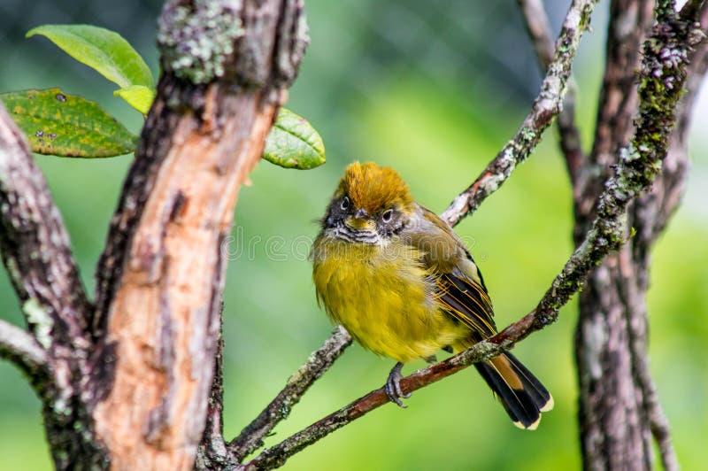 Mały żółty ptak obrazy stock