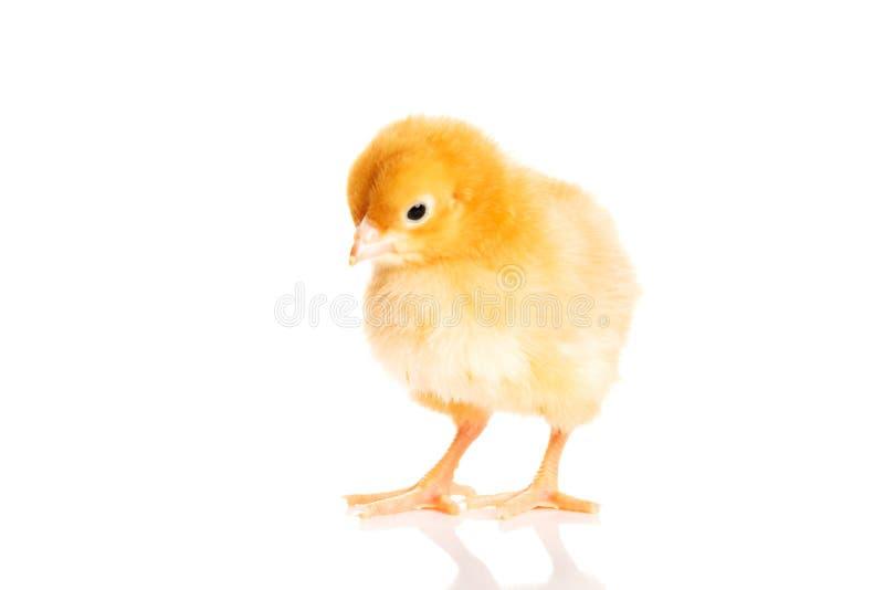 Mały żółty Wielkanocny kurczątko. obrazy stock