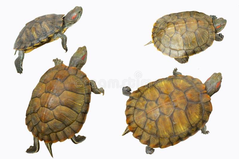 mały żółw zdjęcia stock