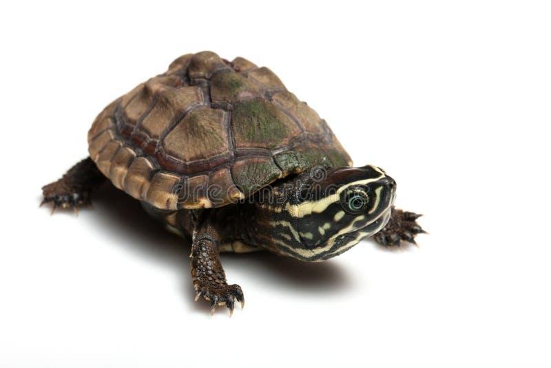 Mały żółw fotografia royalty free