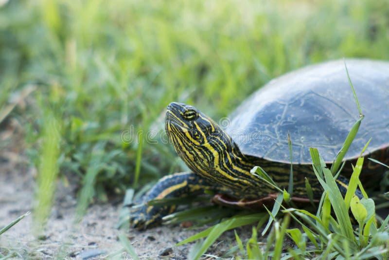 Mały żółw obraz royalty free
