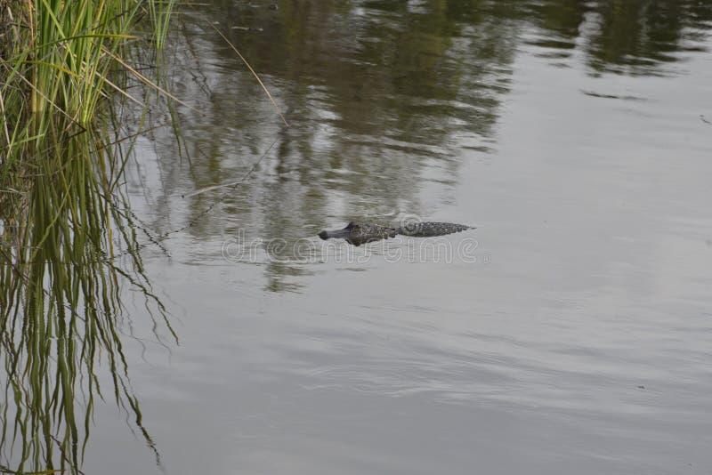 Mały aligator płynie do trzcin na brzegu rzeki obrazy stock